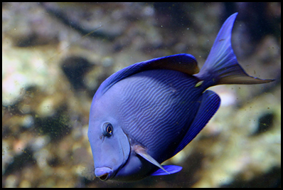 BM10- blue fish