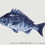 関源直接刺繍シリーズ・海水魚