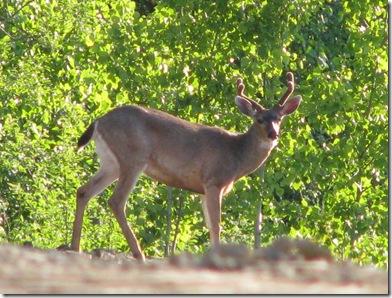 deer in park 208