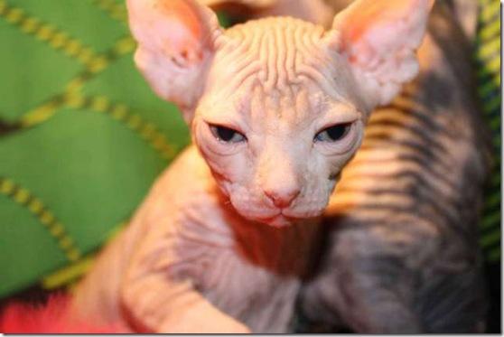 Bald-Cat