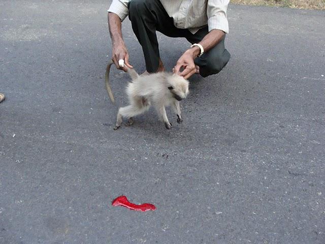 ಗಾಯಗೊಂಡು ಮೃತಪಟ್ಟ ಹನುಮಾನ್ ಲಂಗೂರ್ ಮರಿಯ ಶವ. ಪ್ರೊ. ಕಲ್ಲೂರ್ ಅಂತಿಮ ಕ್ಷಣದ ಪರೀಕ್ಷೆಯಲ್ಲಿ ತೊಡಗಿರುವುದು. ಕ್ಲಿಕ್ಕಿಸಿದವರು: ಮಿಂಚು ಚೈತನ್ಯ ಷರೀಫ್.