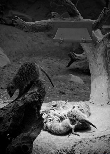 Erdmännchen im Erfurter Zoo