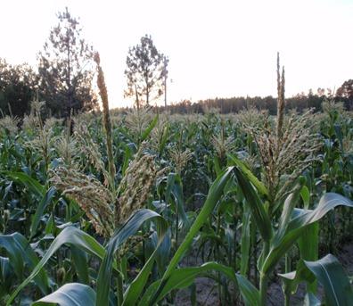 corn tasseling purdy