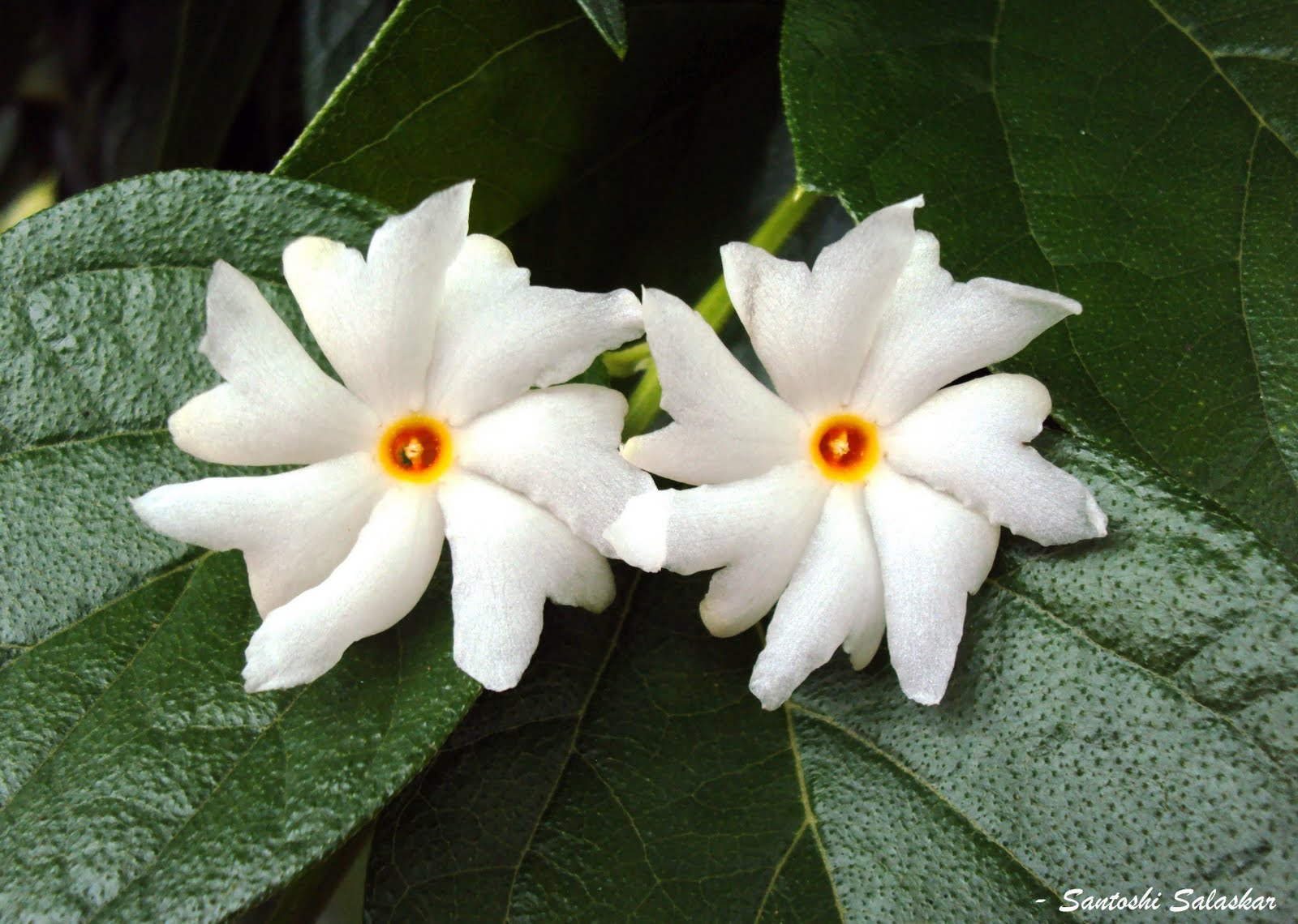 Parijat (also spelled Paarijat or Paarijaata) - Night flowering Jasmine