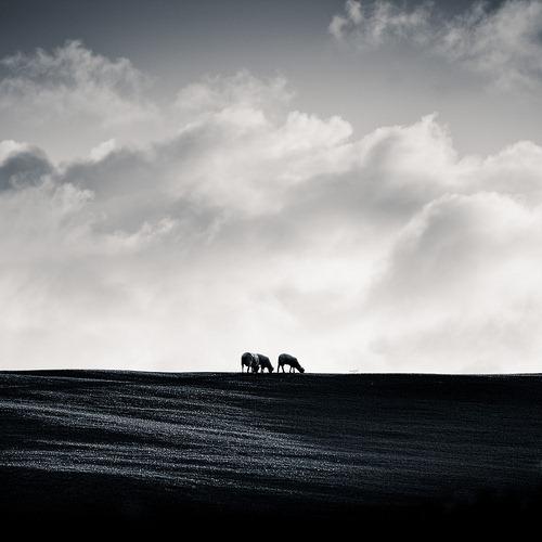 blackandwhite-grazing