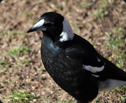 magpie01