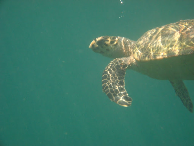 Domino the sea turtle -that travel chic