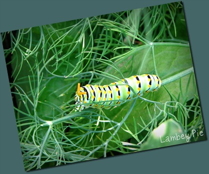 caterpillar on dill wm.jpeg