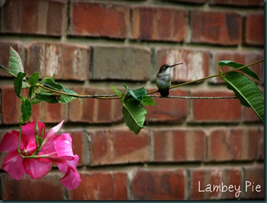 hummingbird on wire wm.jpeg