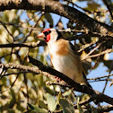European Goldfinch, Jilguero