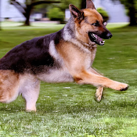 Flying Ryden by Sue Delia - Animals - Dogs Running ( dog, german shepherd, running,  )