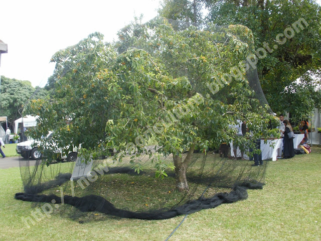 mauritius agriculture news chauves souris les planteurs ne paieront que 25 pour les filets. Black Bedroom Furniture Sets. Home Design Ideas