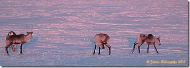 Winter-Caribou-Group4_6505