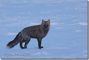 Winter_Fox1_6499