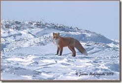 RedFox-April_7265