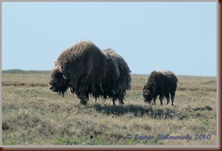 MuskoxFamily-July_2123