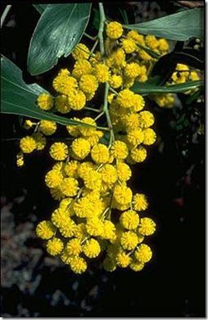 Wattle Acacia pycnantha