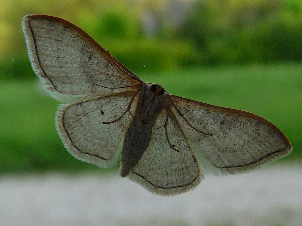 papillon macro photo