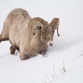 Bighorn Ram by Heather Diamond Ryan - Animals Other Mammals ( horns, winter, ram, bighorn sheep, snow, male, wildlife )