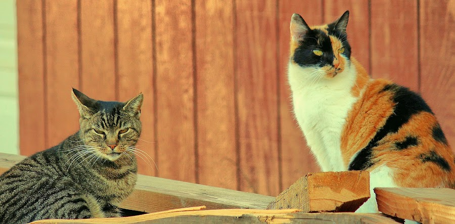 King of the wood pile by Sue Delia - Animals - Cats Playing ( calico, cats, rescued, tabby, feral,  )
