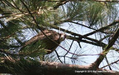 Pictures of Green Heron Nests Added