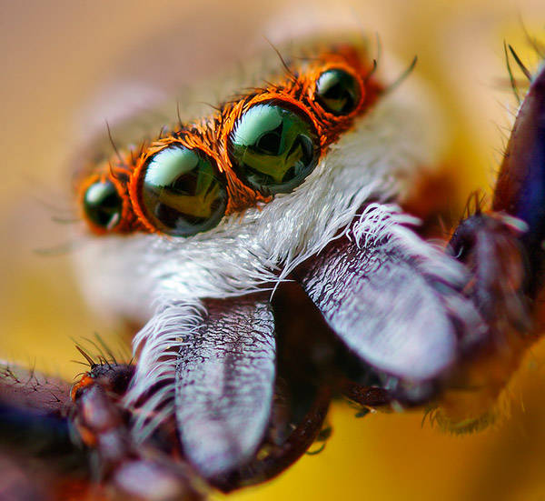 eye macros jumping spider1 - Eyes ----