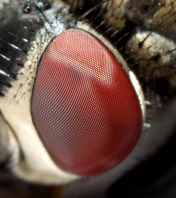 Фасеточные глаза мухи крупным планом