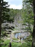 La forêt et les castors
