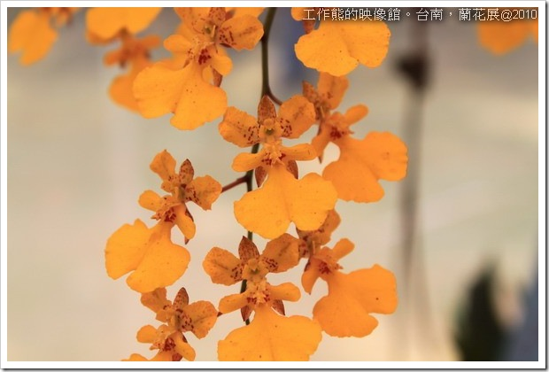 Tainan_orchid10