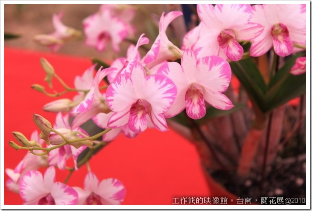 Tainan_orchid17