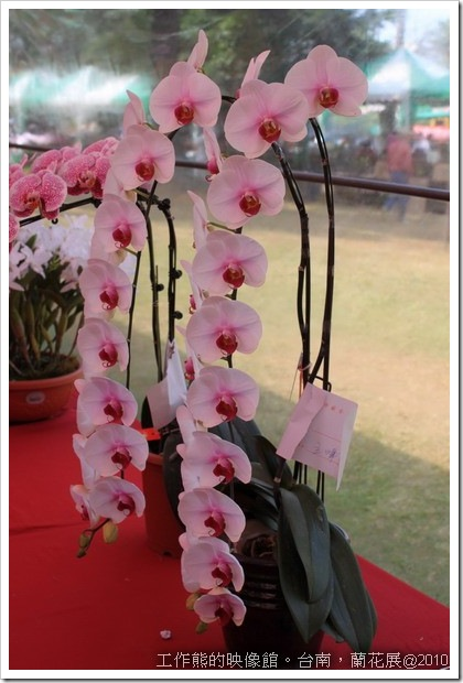 Tainan_orchid24