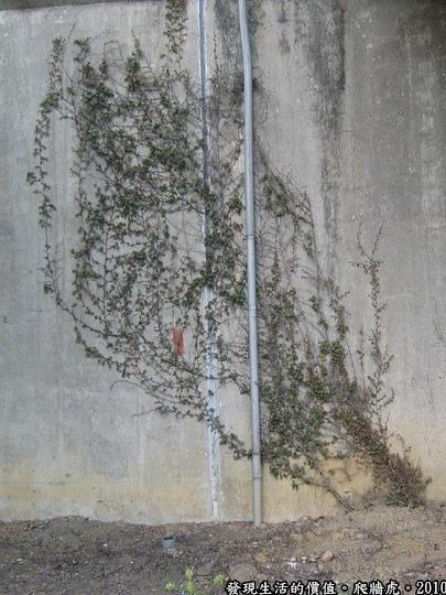 爬牆虎,像不像一幅有點意境的潑墨畫?