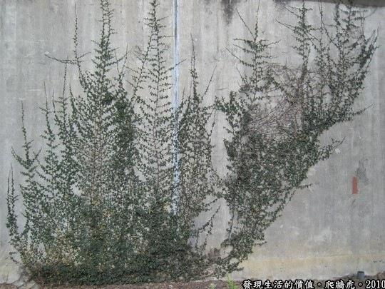 有沒有覺得這幅畫像不像一株雜草,但卻是由藤蔓構圖畫而出。