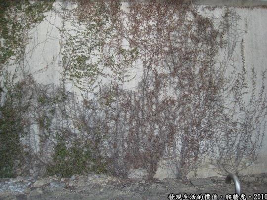 這就是我前面說的乾枯泛紫的藤蔓更有一番風景,看著看著,讓人覺得似乎想訴說什麼?