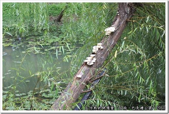 巴克禮紀念公園,楊柳樹上竟然長出了香菇類的植物