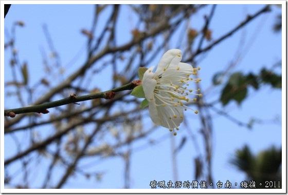 plum_blossom03