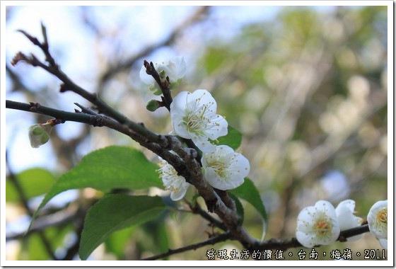 plum_blossom11