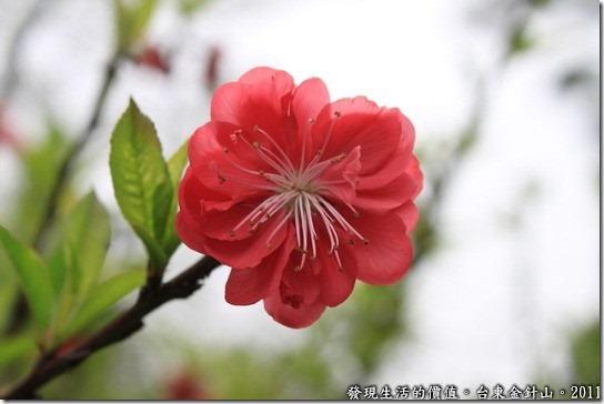 金針山的重瓣緋寒櫻,農民稱它為八重櫻,是山櫻花的變種。