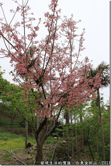 金針山的土地公廟這邊也有櫻花樹喔!這裡種的是野吉櫻。
