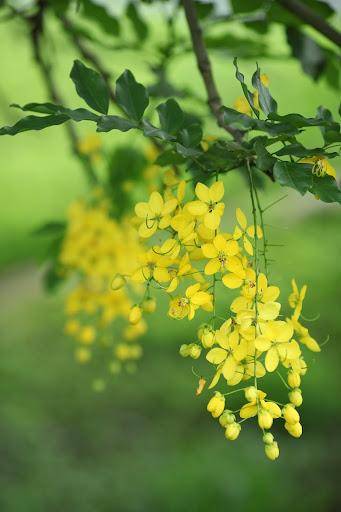 Golden Rain