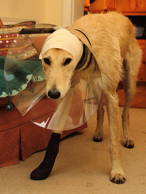 how to look after a lurcher