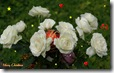 white christmas roses widescreen wallpaper 1920 x 1200 2  desktop widescreen wallpaper