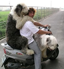 dog_on_scooter