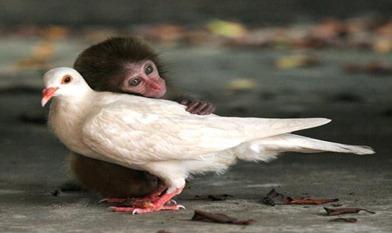 macaqueandpigeon