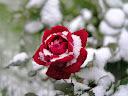 موسوعة رائعة من الورود 2