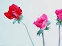 موسوعة رائعة من الورود Flowers-wallpaper%20%2836%29