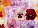 موسوعة رائعة من الورود Pattren%20%286%29