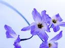موسوعة رائعة من الورود Flowers-wallpaper%20%2820%29
