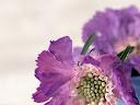 موسوعة رائعة من الورود Flowers-wallpaper%20%2813%29