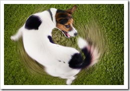 corbis_rf_photo_of_dog_chasing_tail[1]